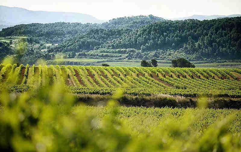 Actividades en el Penedès: senderismo por las viñas